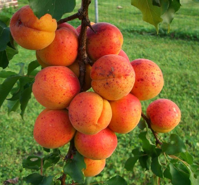 L'abricotier, l'arbre aux fruits de l'été