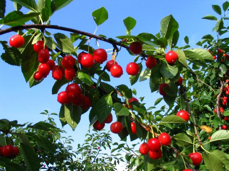 Eclaircissez vos arbres fruitiers