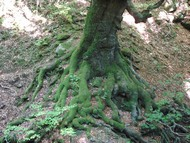 La taille des racines