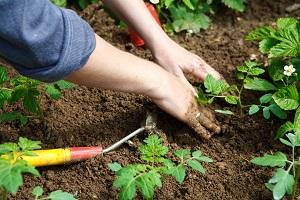 Jardiner dans son potager, la terre et un plant de tomate bio à pleine main