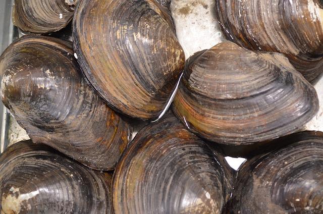 clam-82986_640