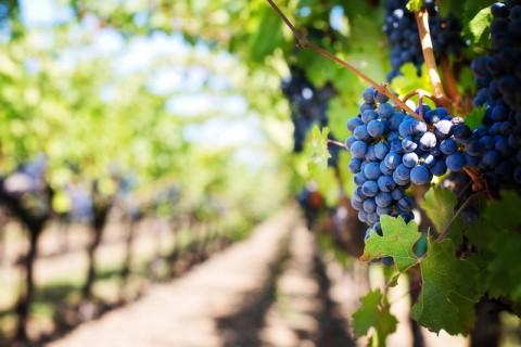 Le métier de viticulteur