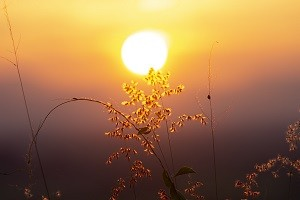 The flower grass with sunlight on blur of sunset background.