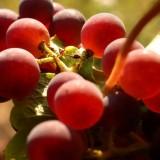 metier viticulteur