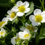 strawberry-flowers-768337_640-min