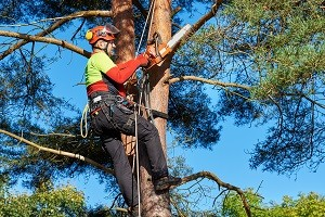 Baumkletterer mit Säge und Klettergurt, Holzfäller bei der Arbeit