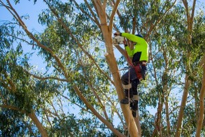 A professional arborist, or tree surgeon uses a chainsaw high in a eucalyptus tree to prune back long branches in New Zealand