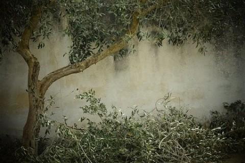 Élaguer vos arbres fruitiers pour l'hiver