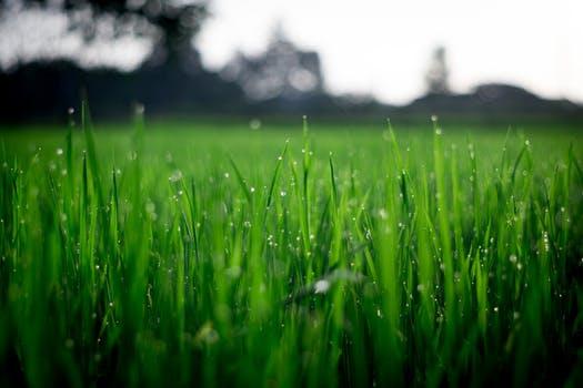 Les avantages de la scarification de pelouse