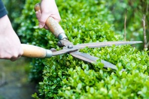 Cutting a hedge with clippers