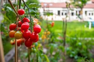 oeillet-inde-tomates