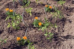 Pourquoi planter des oeillets d'inde près des tomates ?